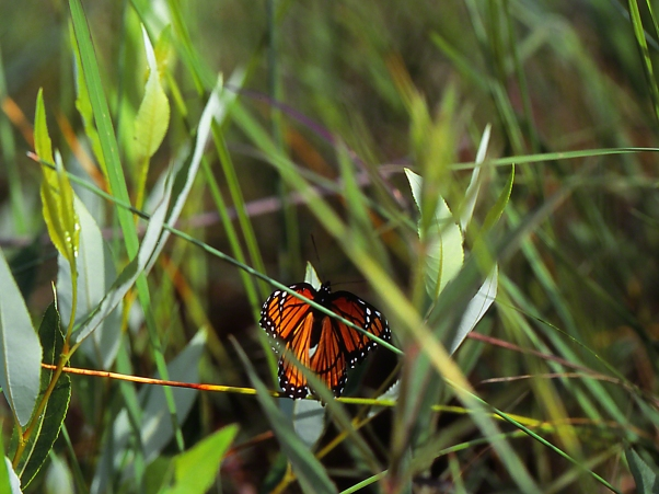 Viceroy Butterfly photographed by Jeff Zablow at Lawrence Woods Reserve