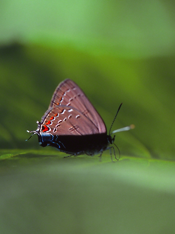 Edwards Hairstreak Butterfly in 1/2 Shade photographed by Jeff Zablow at Adams Lake Preserve