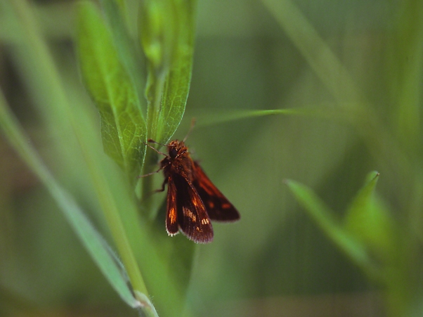 Skipper Butterfly photographed by Jeff Zablow at Clay Pond Preserve, Frewsburg, NY