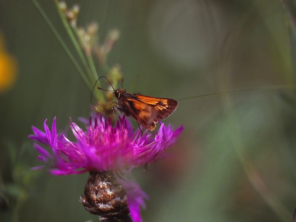 Skipper Butterfly II photographed by Jeff Zablow at Clay Pond Preserve, Frewsburg, NY