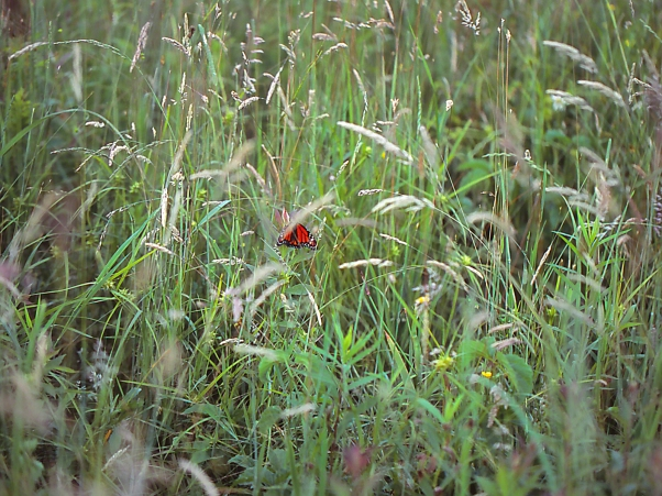 Monarch Butterfly In High Grass photographed by Jeff Zablow at Clay Pond Preserve, Frewsburg, NY