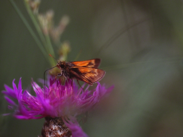 Skipper Butterfly on Thistle photographed by Jeff Zablow at Clay Pond Preserve, Frewsburg, NY