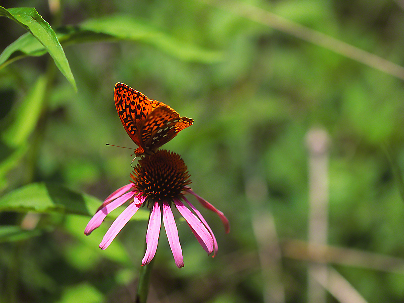 Great Spangle Fritillary Butterfly on Coneflower photographed by Jeff Zablow at Lynx Prairie Reserve, Ohio