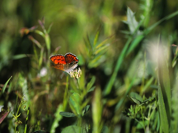 Copper Butterfly photographed by Jeff Zablow at Mishmarot, Israel