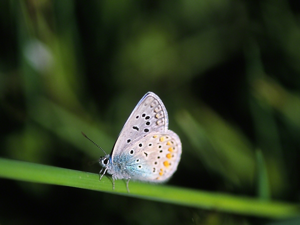 Blue Butterfly ( Ventral View ) photographed by Jeff Zablow at Neve Ativ, Israel