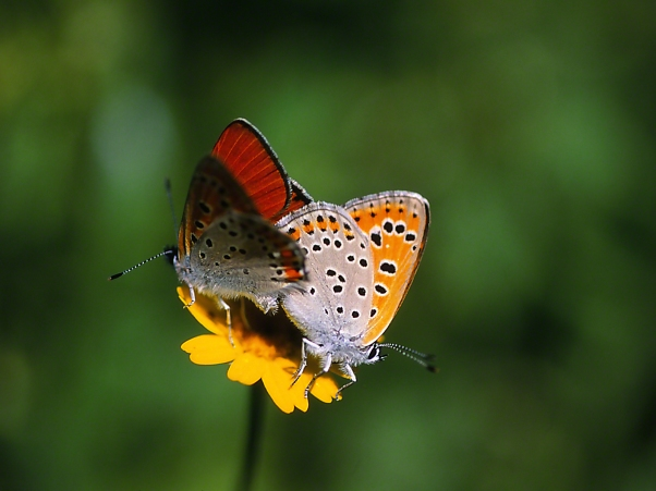 Coupled Copper Butterflies II photographed by Jeff Zablow at Neve Ativ, Israel