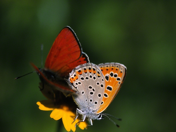Coupled Copper Butterflies IV photographed by Jeff Zablow at Neve Ativ, Israel