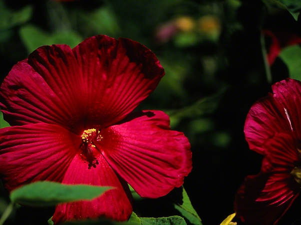 Hibiscus Flowers photographed by Jeff Zablow at Phipps Conservatory, Pittsburgh, PA, 7/29/10