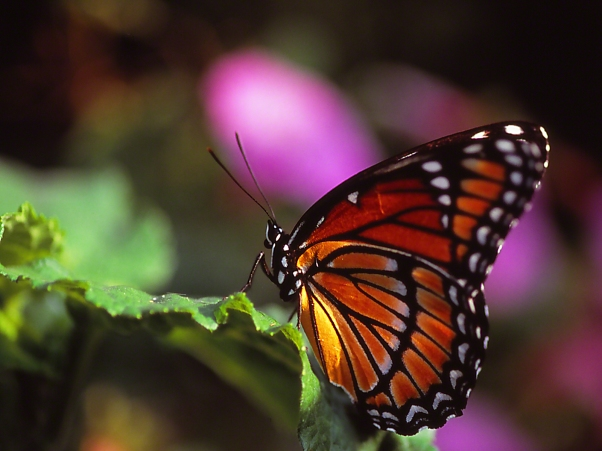 Viceroy butterfly photographed by Jeff Zablow at the Butterflies and Blooms Habitat in Eatonton, GA