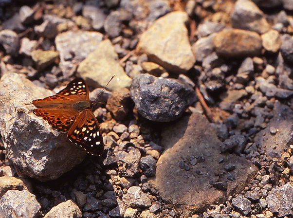 Hackberry emperor butterfly photographed by Jeffrey Zablow at Greenville, Mississippi