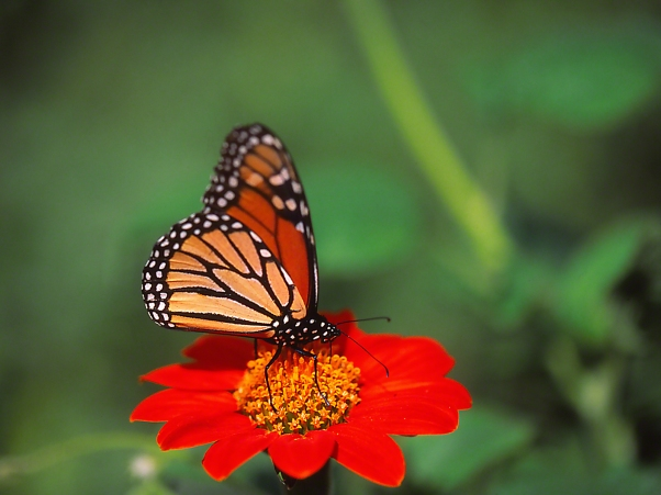 Right side view of Monarch butterfly on Tithonia, photographed by Jeff Zablow at Butterflies and Blooms in the Briar Patch Habitat I, Eatonton, GA