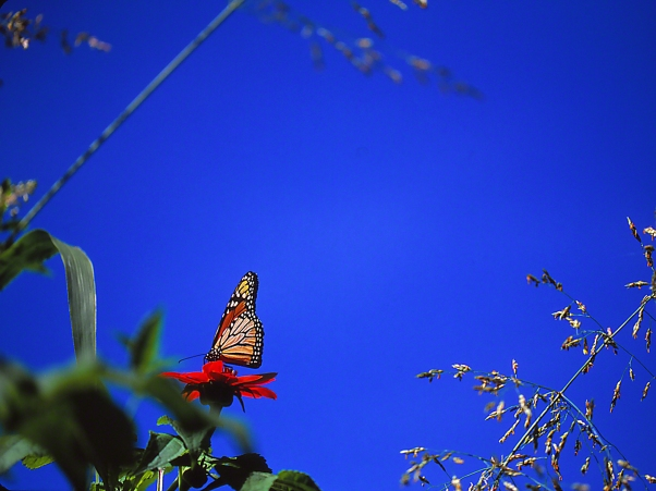 Monarch butterfly on Tithonia with intense blue sky, photographed by Jeff Zablow at Butterflies and Blooms in the Briar Patch Habitat I, Eatonton, GA