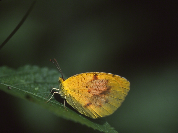 Sleepy Orange butterfly photographed by Jeff Zablow at Butterflies and Blooms in the Briar Patch Habitat I, Eatonton, GA