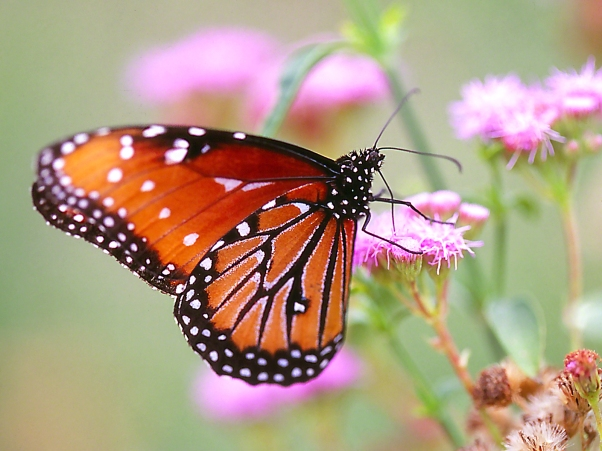 Queen butterfly photographed by Jeff Zablow at the National Butterfly Center, Mission, TX