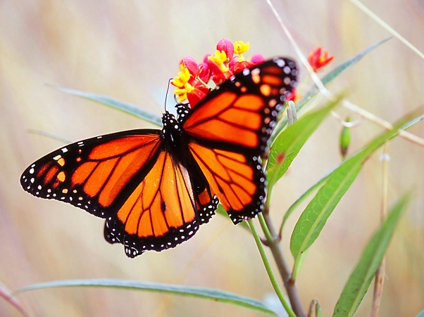 Mating Monarchs on Milkweed photographed by Jeff Zablow at the National Butterfly Center, Mission, TX