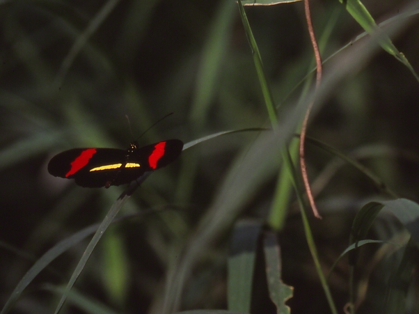 Erato heliconian butterfly (Dorsal view) photographed by Jeff Zablow at the National Butterfly Center, Mission, TX