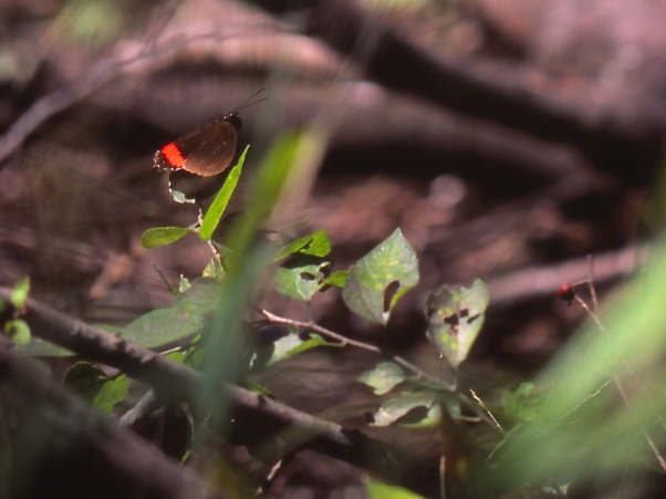 Red-rim butterfly on leaf photographed by Jeff Zablow at the National Butterfly Center, Mission, TX
