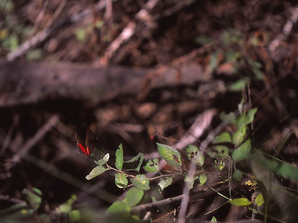 Red-rim butterfly at rest photographed by Jeff Zablow at the National Butterfly Center, Mission, TX