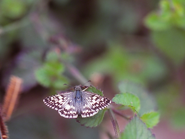 Checkered-skipper photographed by Jeff Zablow at the National Butterfly Center, Mission, TX