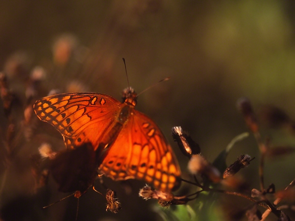 Mated Mexican fritillary butterflies photographed by Jeff Zablow at the National Butterfly Center, Mission, TX