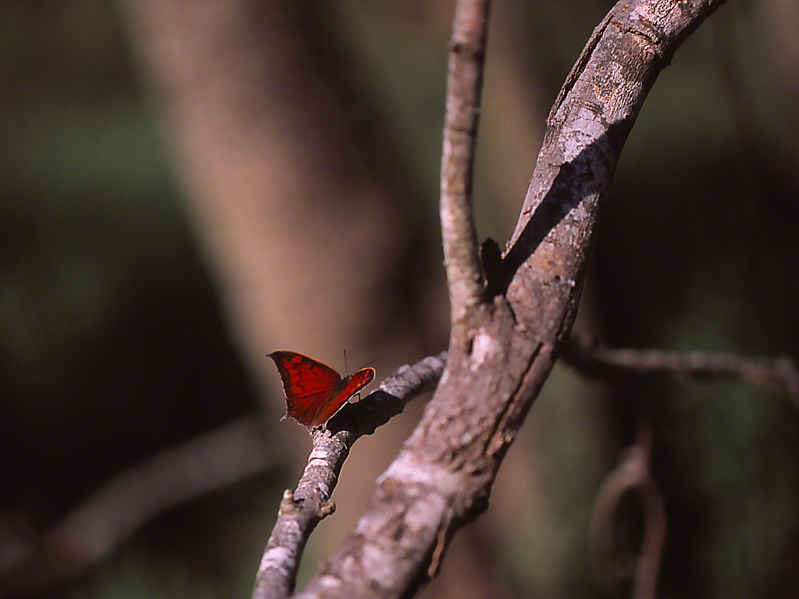 Tropical leafwing butterfly (Dorsal view) photographed by Jeff Zablow at the National Butterfly Center, Mission, TX