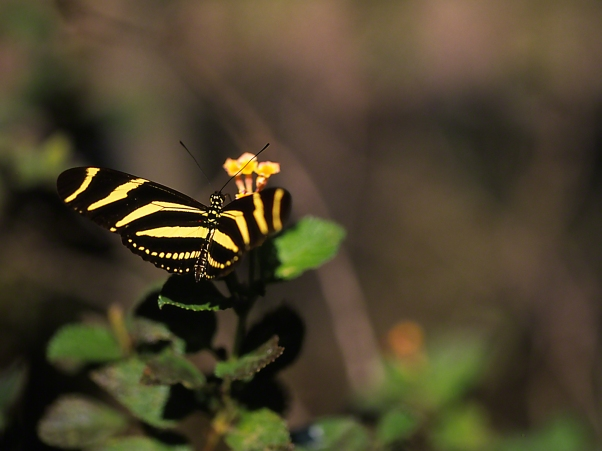 Zebra heliconian butterfly photographed by Jeff Zablow at the National Butterfly Center, Mission, TX