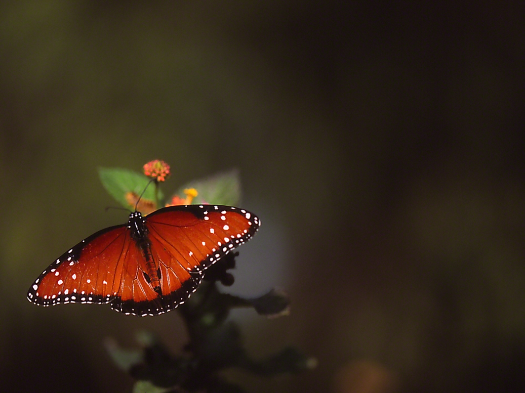 Queen butterfly (Full dorsal) photographed by Jeff Zablow at the National Butterfly Center, Mission, TX
