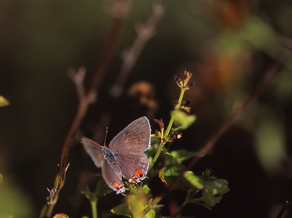 Gray hairstreak butterflys photographed by Jeff Zablow at the National Butterfly Center, Mission, TX
