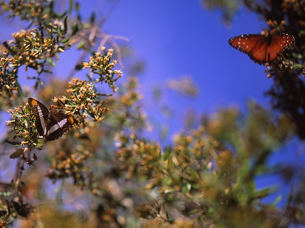 Pavon Emperor Butterfly on the left and Queen Butterfly on the right photographed by Jeff Zablow at Bensten State Park, Mission, TX