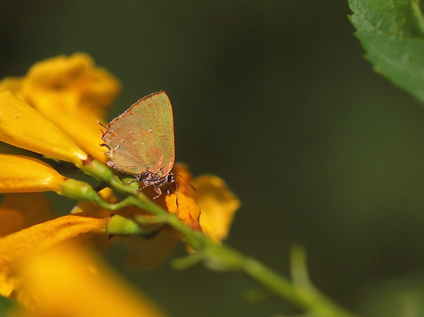 Tropical Greenstreak butterfly photographed by Jeff Zablow at 'The Wall,' Mission, TX