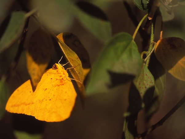 Large Sulphur Butterfly photographed by Jeff Zablow at the National Butterfly Center, Mission, TX