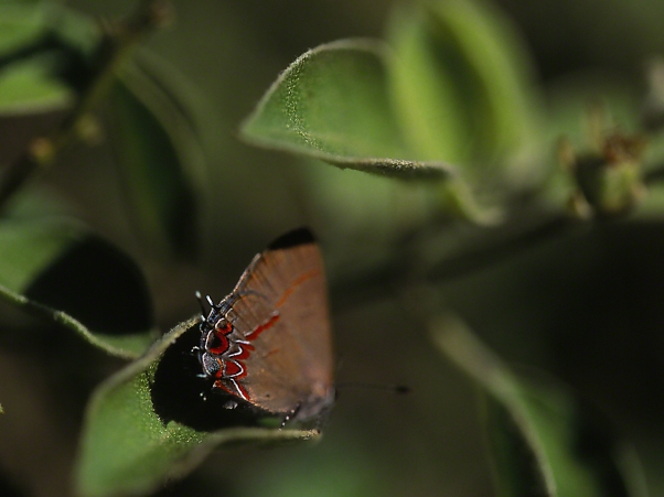Dusky-blue Hairstreak Butterfly photographed by Jeff Zablow at the National Butterfly Center, Mission, TX