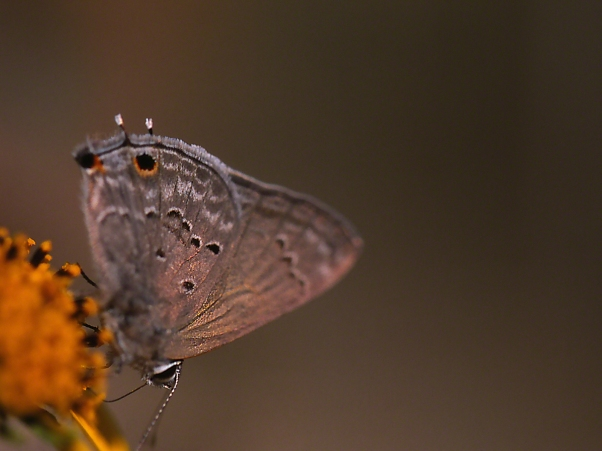 Mallow Scrub-Hairstreak Butterfly photographed by Jeff Zablow at the National Butterfly Center, Mission, TX