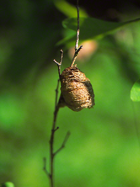 Mantid egg case photographed by Jeff Zablow