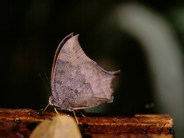 Tropical Leafwing Butterfly photographed by Jeff Zablow at the National Butterfly Center, Mission, TX