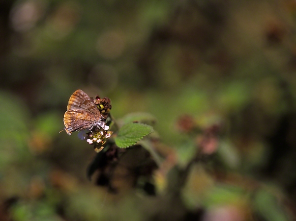 Gold-bordered Hairstreak Butterfly photographed by Jeff Zablow at The Wall, Mission, TX