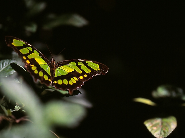 Malachite Butterfly photographed by Jeff Zablow at the National Butterfly Center, Mission, TX