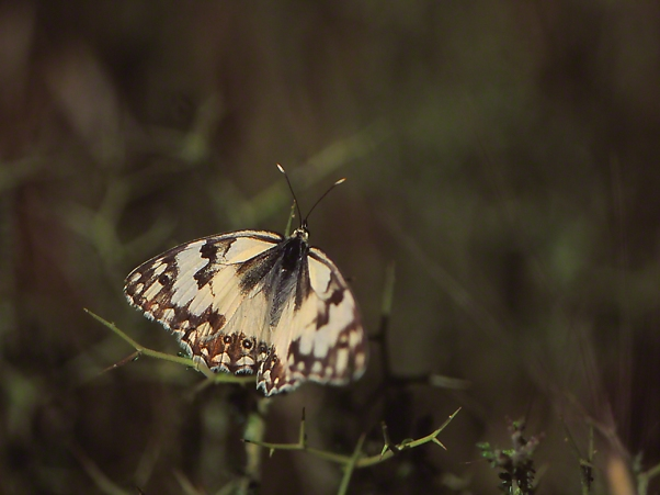 Levantine marbled white butterfly photographed by Jeffrey Zablow at Neve Ativ, Israel