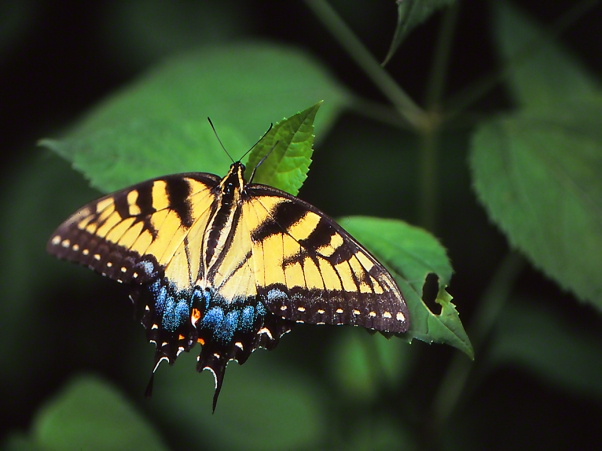 Tiger swallowtail butterfly photographed by Jeffrey Zablow at Raccoon Creek State Park in Pennsylvania