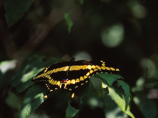 Giant butterfly photographed by Jeff Zablow at Pigeon Mountain, GA