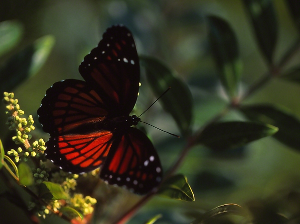 Viceroy Butterfly on Sumac (Woody Pond) photographed by Jeff Zablow at Harris Neck National Wildlife Refuge, GA
