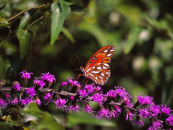 Gulf Fritillary Butterfly on Liatris photographed by Jeff Zablow at Harris Neck National Wildlife, GA
