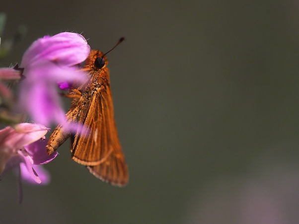 Saltmarsh Skipper photographed by Jeff Zablow at Harris NeckNational Wildlife Refuge, GA