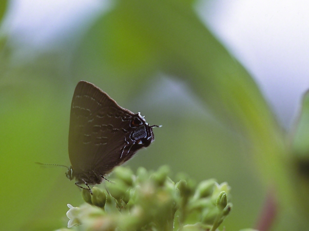 Hickory Hairstreak photographed by Jeff Zablow at Akeley Swamp, NY