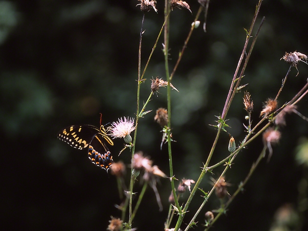 Palamedes Swallowtail Butterfly on Thistle photographed by Jeff Zablow at Harris Neck National Wildlife Refuge, GA
