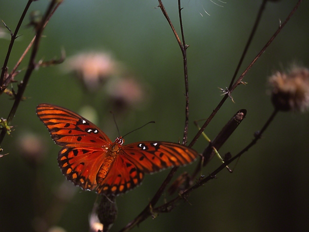 Gulf Fritillary Butterfly on Thistle photographed by Jeff Zablow at Harris Neck National Wildlife Refuge, GA