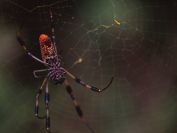 Giant Spider photographed by Jeff Zablow at Harris Neck National Wildlife Refuge, GA