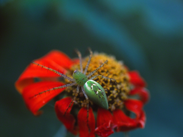 Green Spider on Tithonia photographed by Jeff Zablow at 303 Garden, GA