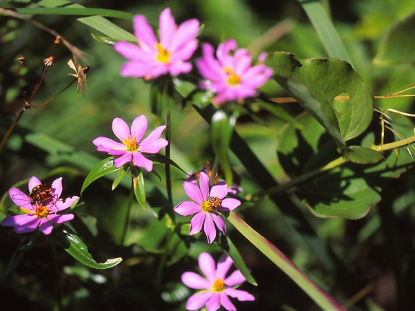 Pink Wildflowers photographed by Jeff Zablow at Pigeon Mountain, GA