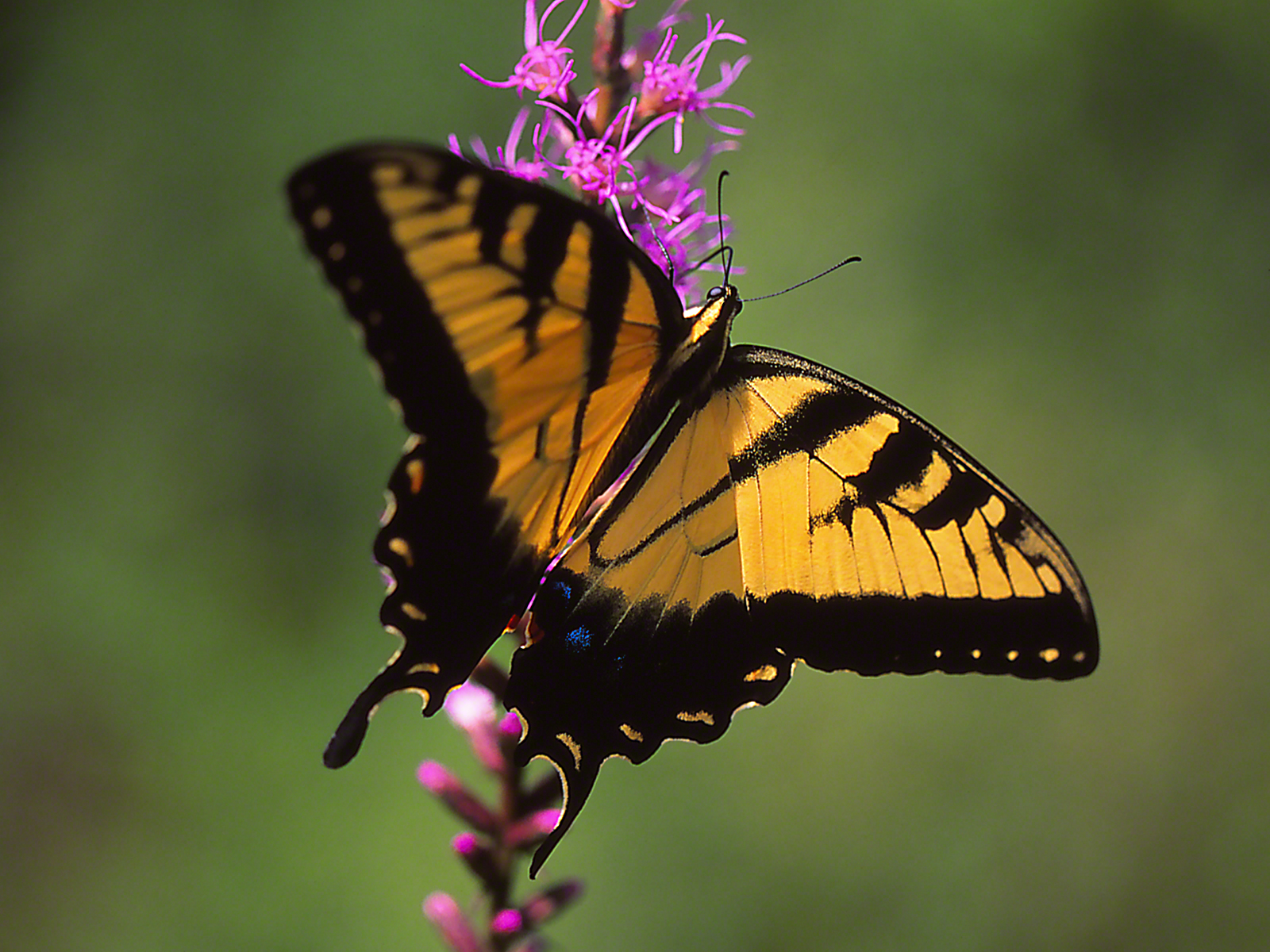 Male Eastern Tiger Swallowtail Butterfly photographed by Jeff Zablow at Cloudland Canyon State Park, GA